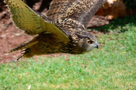 Close up of a Eurasian eagle owl (bubo bubo) in flight during a falconry show