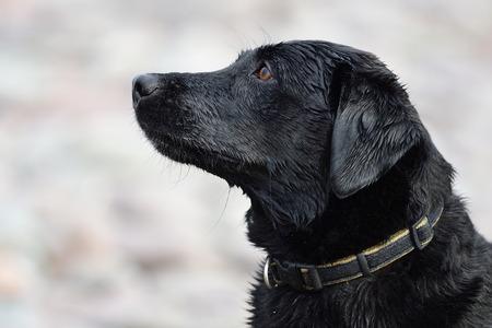 Close up head shot of a wet black labrador
