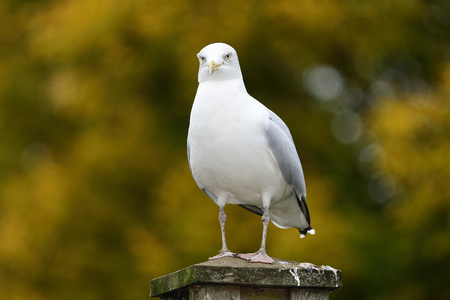 Portrait of a seagull perching on a wooden post in the park