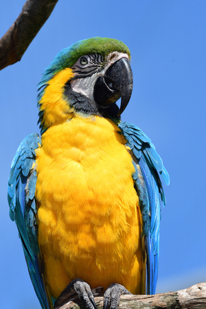Portrait of a blue and yellow macaw