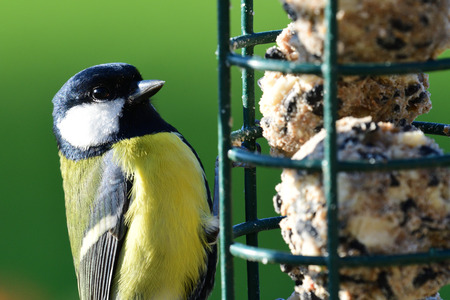 Portrait of a great tit (parus major) feeding on a bird feeder Фото со стока