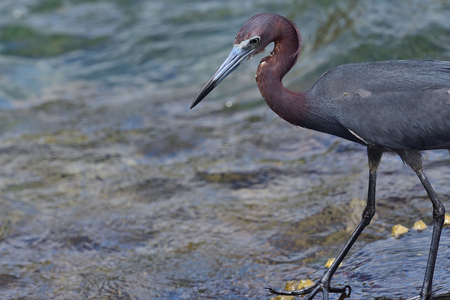 Portrait of a little blue heron fishing Stock Photo