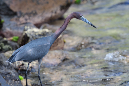 Portrait of a little blue heron standing in the water