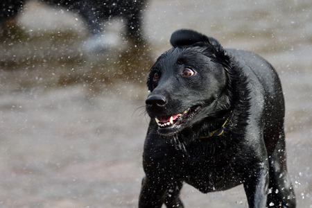 Portrait of a wet black Labrador shaking off water