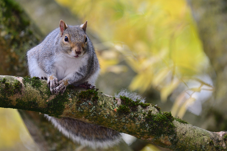 Portrait of a grey squirrel (sciurus carolinensis) sitting on a branch in a tree Imagens