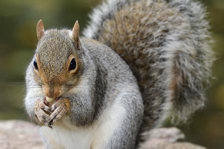 Close up portrait of a gray squirrel (sciurus carolinensis) eating a nut