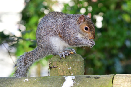 Portrait of a gray squirrel (sciurus carolinensis) sitting on a wooden post while eating a nut