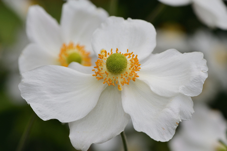 Close up of a Japanese thimbleweed (anemone hupehensis flower in bloom