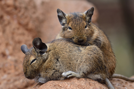 Close up of a pair of common degus (octodon degus) cuddling together Reklamní fotografie