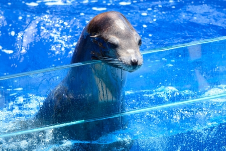 Close up portrait of a sea lion resting it's head on the edge of a water tank