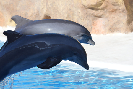 Portrait of two dolphins jumping out of the water during a dolphin show