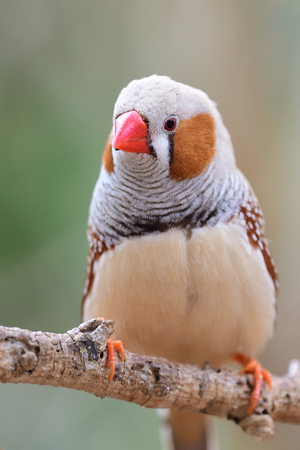 Portrait of a zebra finch (taeniopygia guttata) perching on a branch