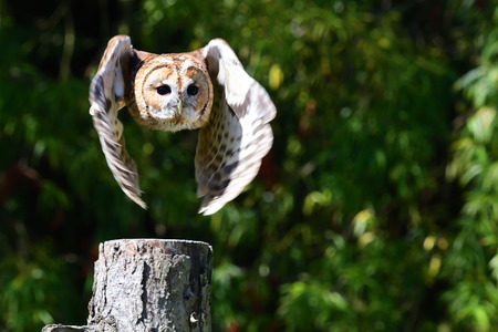 Portrait of a tawny owl flying towards the camera