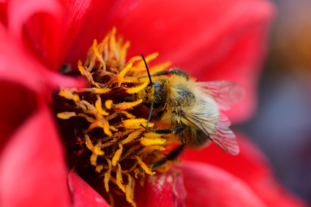 Macro shot of a bee pollinating a red flower