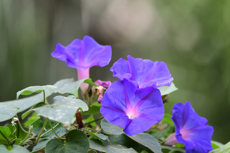 Close up of purple morning glory flowers in bloom