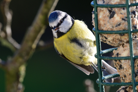 Close up of a bluetit (cyanistes caeruleus) feeding on a bird feeder