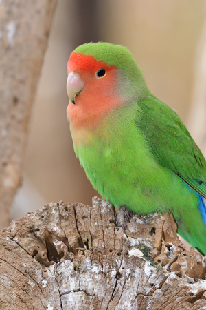 Portrait of a rosy-faced lovebird (agapornis roseicollis)