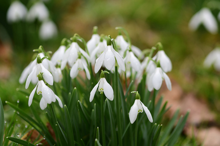 Close up of common snowdrops (galanthus nivalis) in bloom