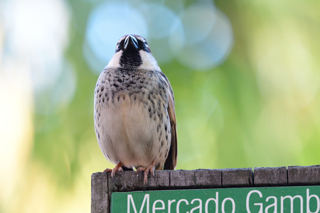Portrait of a Spanish sparrow (passer hispaniolensis) perching on a wooden sign Imagens - 120847689