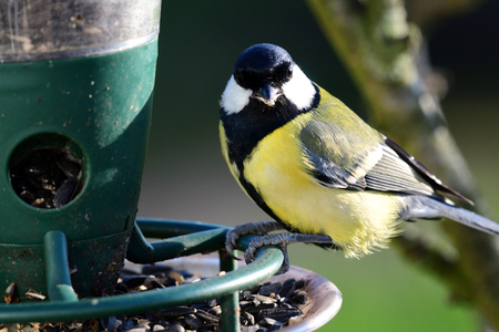 Portrait of a great tit (parus major) feeding on a bird feeder Imagens