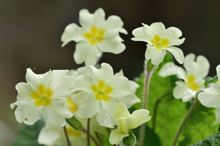 Close up of common primroses (primula vulgaris) in bloom Imagens