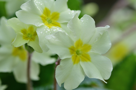 Close up of common primroses (primula vulgaris) in bloom Imagens - 120847695