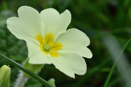 Macro shot of a common primrose (primula vulgaris) in bloom