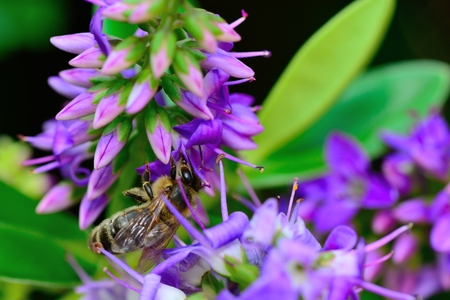 Close up of a bee pollinating a purple hebe flower Imagens