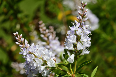 Close up of white hebe flowers in bloom Imagens