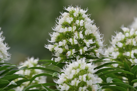 Close up of white echium flowers in bloom