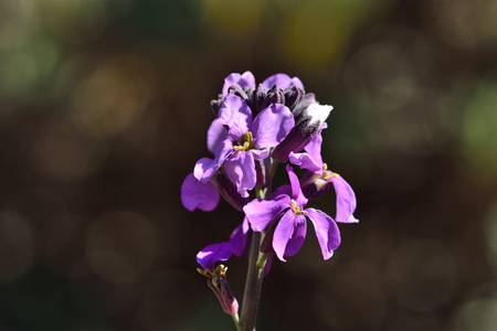 Close up of an erysimum scoparium flower in bloom Imagens
