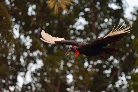 Close up of a southern ground hornbill (bucorvus leadbeateri) in flight with trees in the background