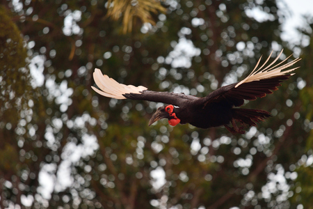 Close up of a southern ground hornbill (bucorvus leadbeateri) in flight with trees in the background Imagens - 120847803