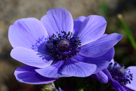 Close up of a purple anemone flower in bloom Imagens - 120847800