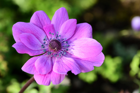 Close up of a pink anemone flower in bloom