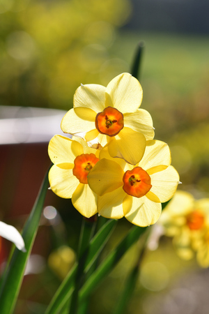 Close up of daffodils (narcissus) in bloom with back lighting