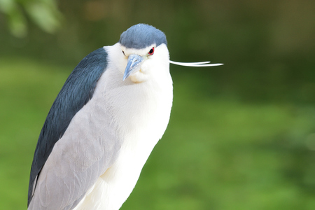 Close up portrait of a black crowned night heron (nycticorax nycticorax) Imagens