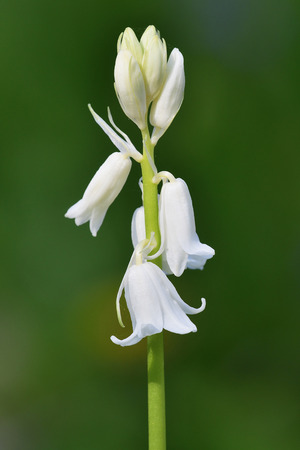 Close up of a white bluebell (hyacinhoides non-scripta) flower in bloom