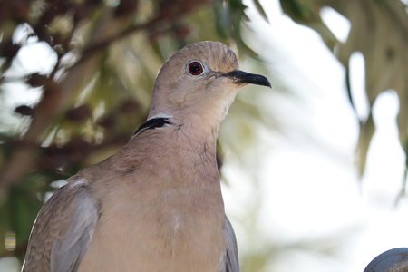 Close up portrait of a Eurasian collared dove (streptopelia decaocto) Imagens