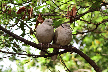 Two Eurasian collared doves (streptopelia decaocto) perching in a tree