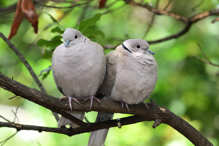 Portrait of a two Eurasian collared doves (streptopelia decaocto) perching on a branch