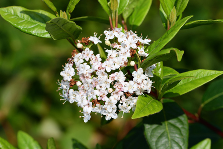 Close up of viburnum tinus (laristinus viburnum) flowers