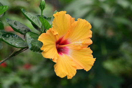 Close up of an orange hibiscus flower in bloom