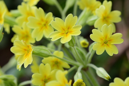 Close up of common cowslips (primula veris) in bloom