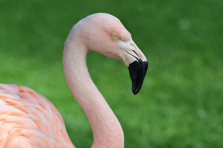 Close up head shot of a flamingo Imagens - 120847860