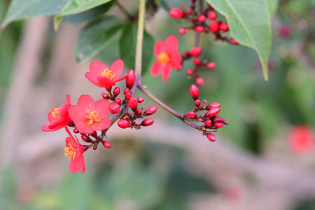 Close up of peregrina (jatropha integerrima) flowers Imagens