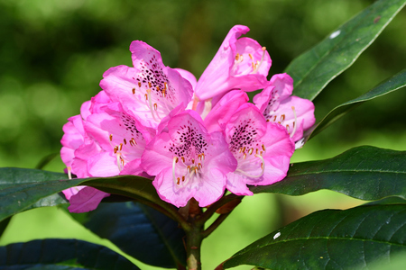 Close up of pink rhododendrons in bloom Imagens - 120847869