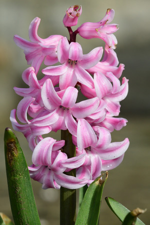 Close up of a pink hyacinth flower in bloom Imagens