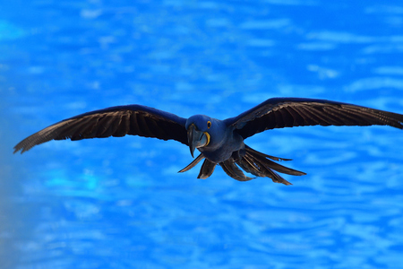 Portrait of a hyacinth macaw (anodorhynchus hyacinthinus) in flight Imagens - 120847888
