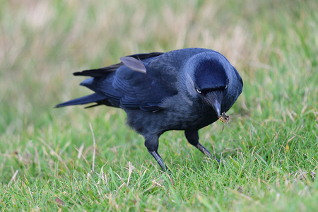Portrait of a jackdaw (coloeus monedula) foraging in the grass